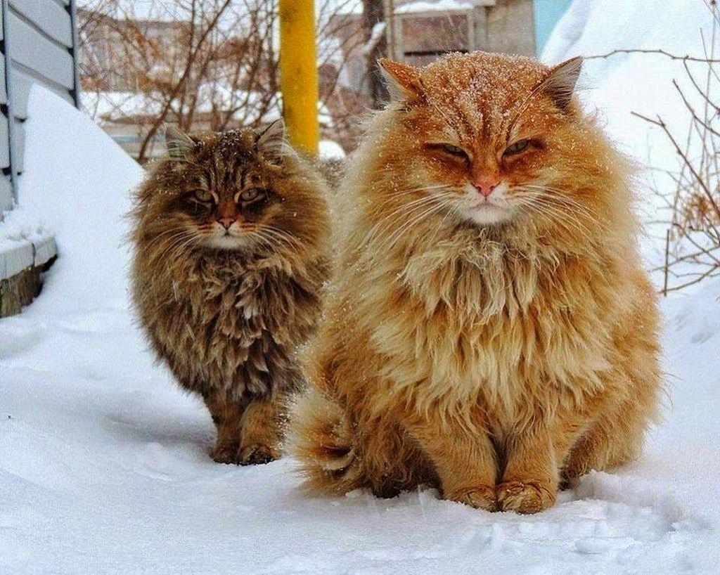 Сибирские кошки – особенности характера и породы